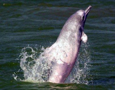 Les dauphins menacés par un projet d'extension de l'aéroport de Hong Kong...