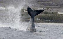 Ile de La Réunion : les baleines pointent leur caudale !