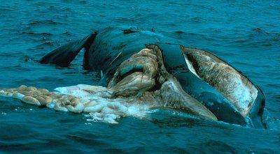Le cadavre d'une baleine au large de Carteret...