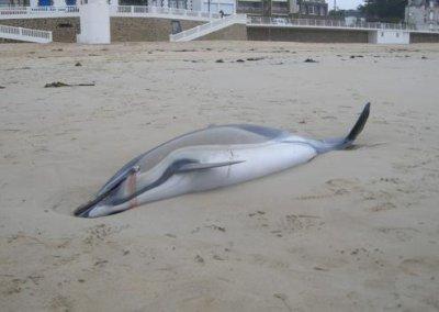 Loire-Atlantique : Trois dauphins échoués sur les plages