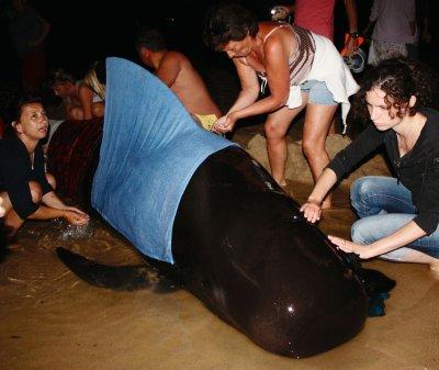 n dauphin noir échoué sur les plages de Gironde