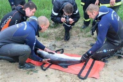 Un dauphin bloqué dans le canal d'Isigny sur Mer