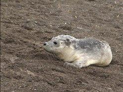 Un phoque perdu dans la rivière des Prairies