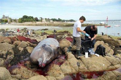 Une baleine à bec s'échoue à Beg-Meil