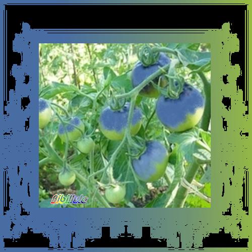 Après la fraise jaune, voici la tomate des Schtroumpfs