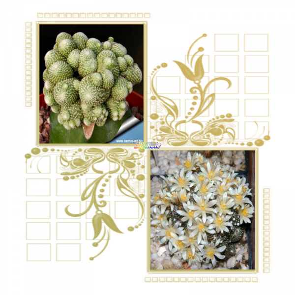 Le métabolisme étonnant de Blossfeldia liliputana
