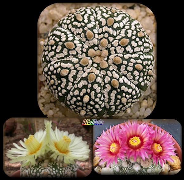 Le cactus oursin