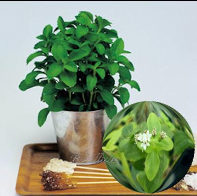 Stevia rebaudiana ou la plante sucre ou chanvre d'eau