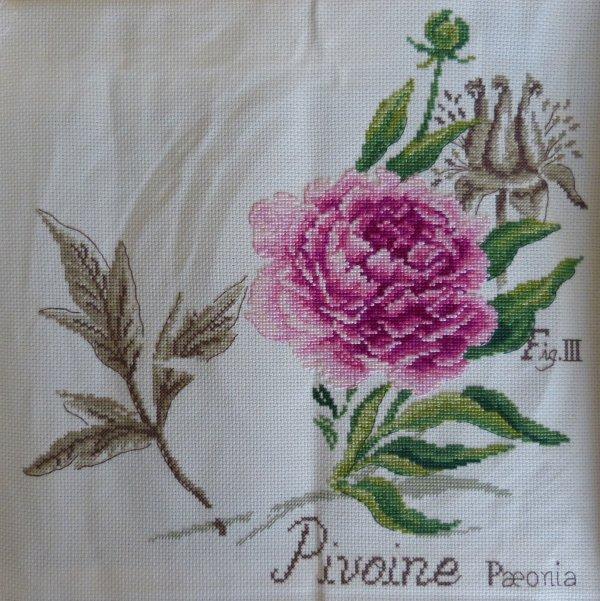 Etudes Botaniques - La Pivoine (2)