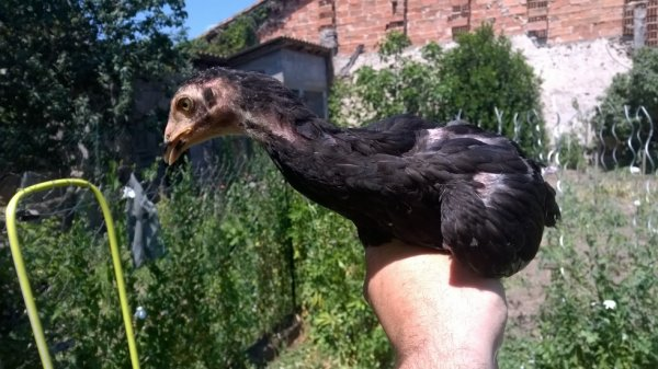 poule américaine 3 mois vendue jacky