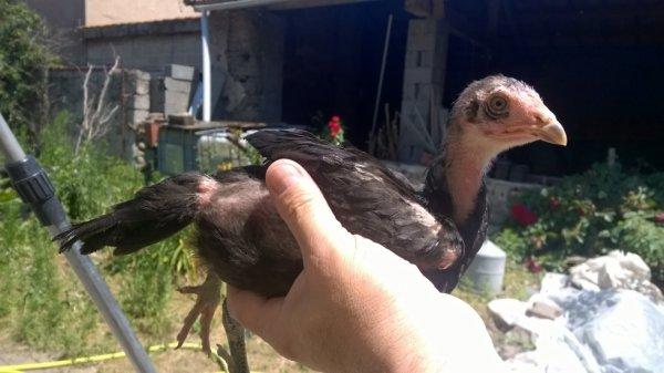 poule viet 2 mois (vendue Jacky)