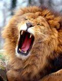 Photo de lion-5