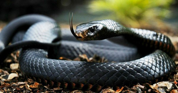 Oeil de Serpent