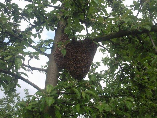 2eme essaim sur mon rucher