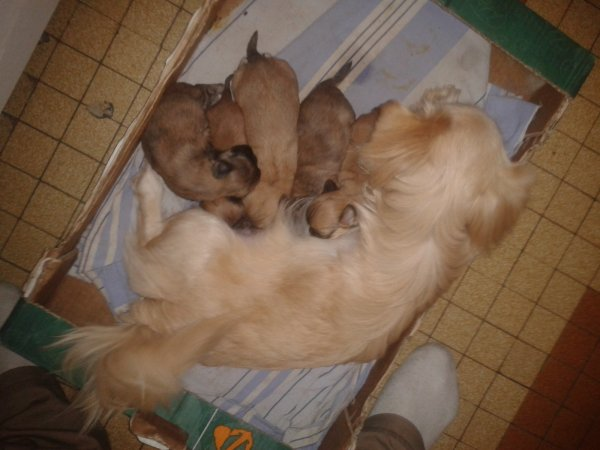 chiots pekinois males a reserver. 0647995673
