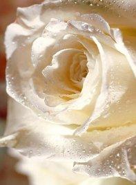 Roses de l'Est - Sophie GAIGNON