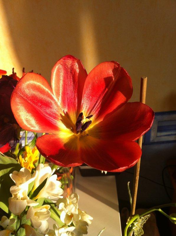 Une photo de mes tulipes...