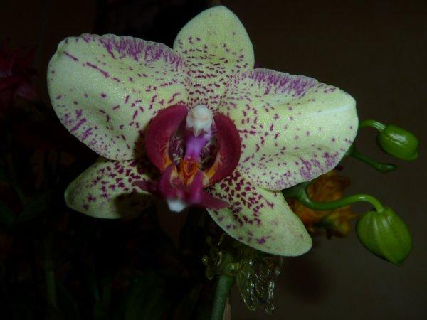 Une photo de mon orchidée... quels détails !