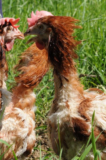 Poules pondeuses bretonnes sauvées