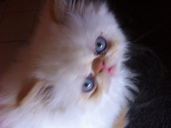 Haribo, mâle red point, disponible à la réservation