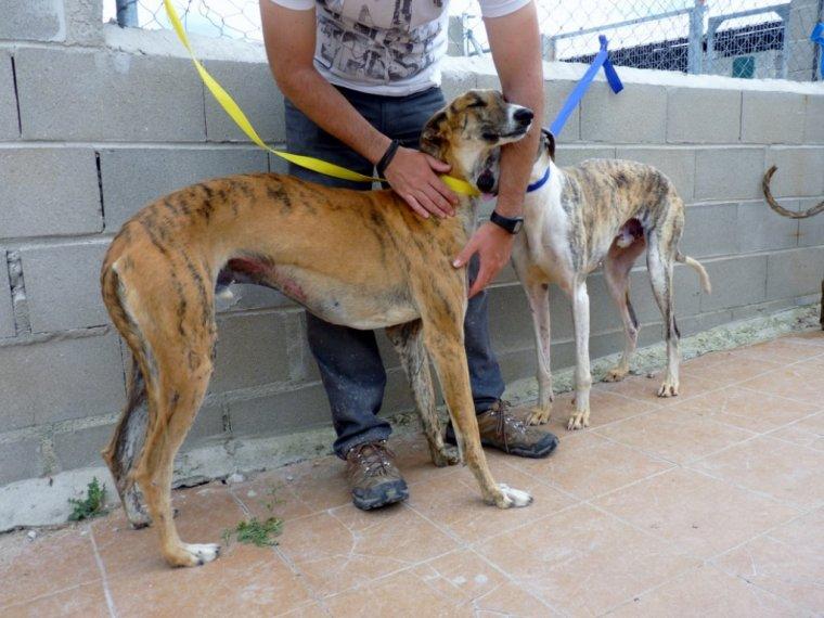 Galgos A L Adoption La Gazette Des Levriers Blog De Gritou Levriers Infos Adoptions