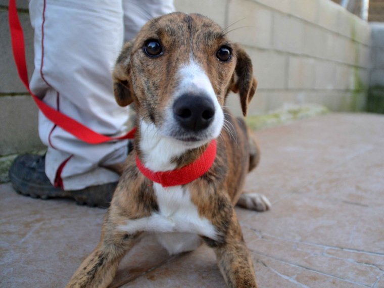 Scooby France ,nos galgos à l'adoption