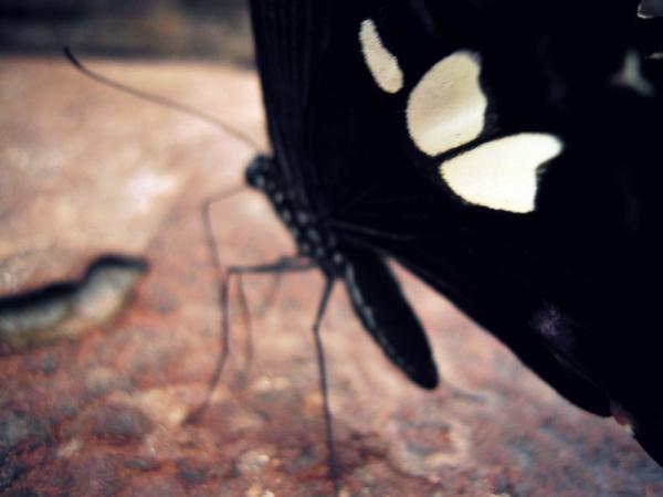 """Papillon du Cambodge que j'ai réussi à prendre au bord d'une rivière. """"Photo shot"""" difficile pour cet insecte qui n'arrêtait pas de bouger! J'ai du le laisser se familiarisé avec l'appareil d'abord,  puis s'approcher lentement de lui."""