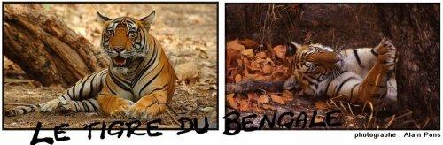 Fiche n°1 : Le tigre