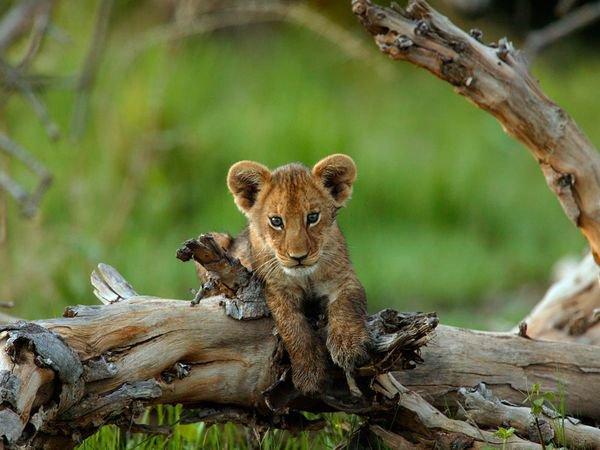 Fiche n°2 : Le lion