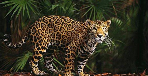 Fiche n°3 : Le jaguar