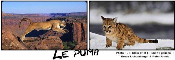 Fiche n°6 : Le puma