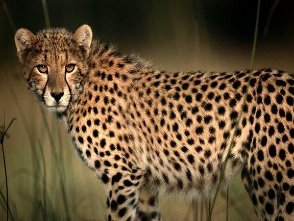 Fiche n°7 : Le guépard