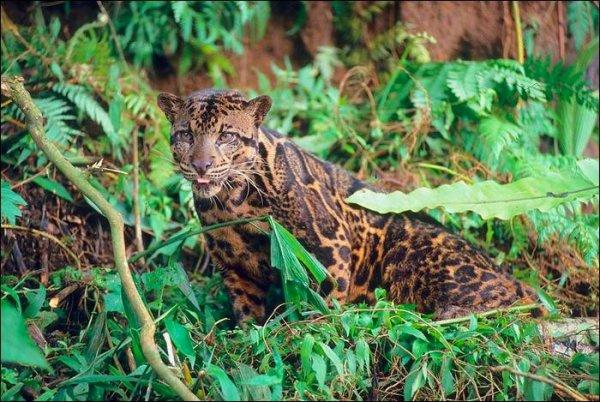Fiche n°9  : Le léopard tacheté de Bornéo