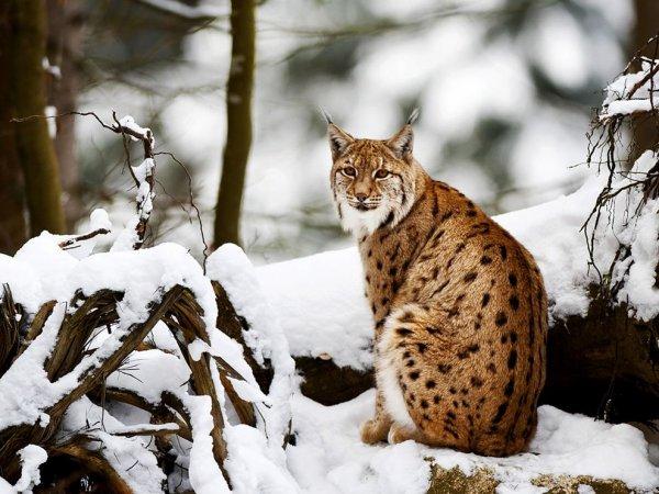 Fiche n°10 : Le lynx boréal