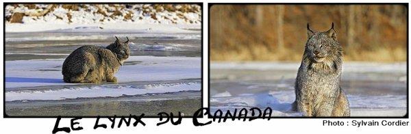 Fiche n°11 ; Le Lynx du Canada