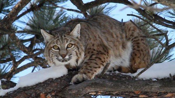 Fiche n°12 : Le lynx roux