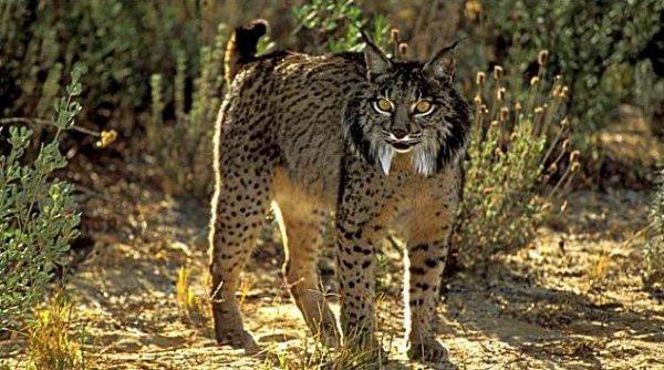 Fiche n°13 : Le lynx pardelle