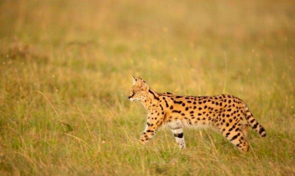 Fiche n°15 : Le serval
