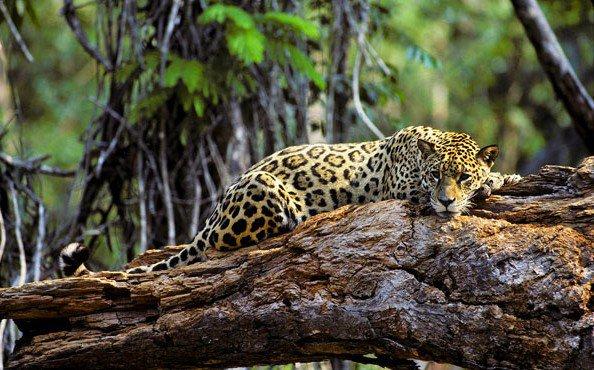 Les menaces qui pèsent sur les félins : partie II : La déforestation