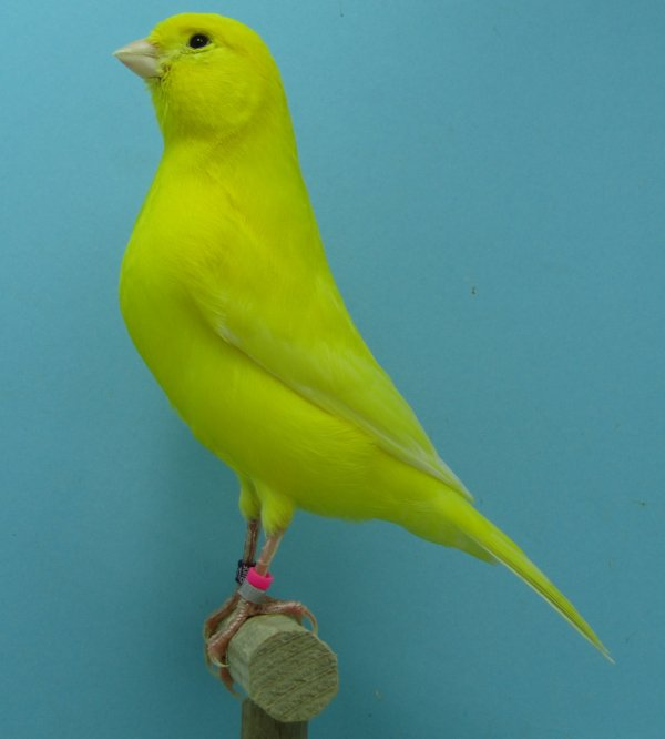 Les premiers mâles jaune intensif