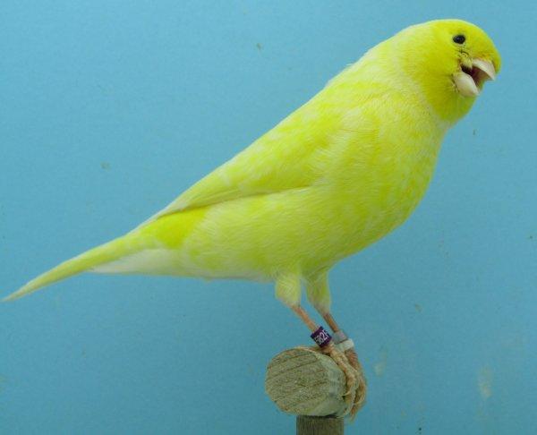 Male et femelle jaune schimmel