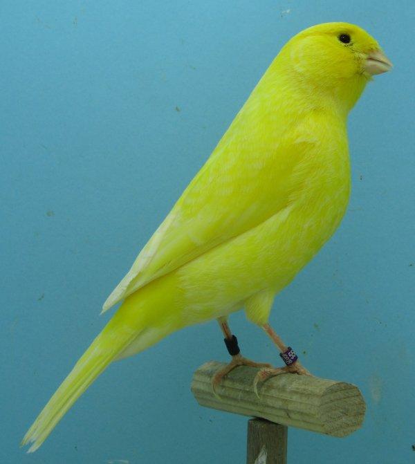 Femelle jaune Schimmel
