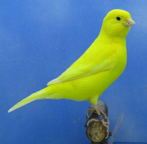 Début tri mâle lipochrome jaune intensif
