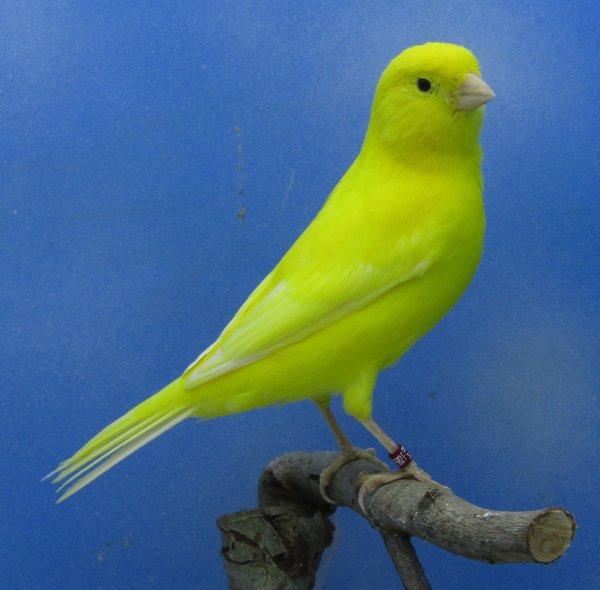 Male jaune intensif