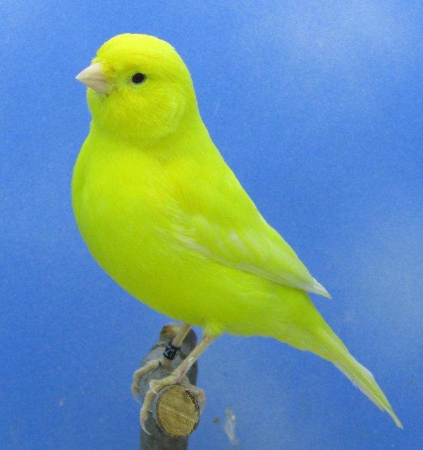 Femelles jaune intensif élevage 2020
