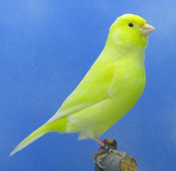 elevage 2020 femelles jaune schimmel