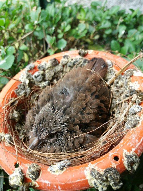 Dans le nid 2 colombes rousses et 2 colombes diamants