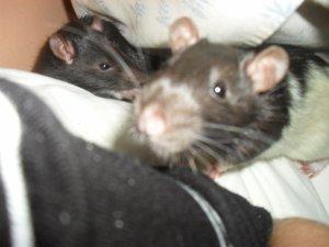 _ Rat-0ns.Skyblog.Com Mes petits monstres dans toutes leurs splendeurs =)  _