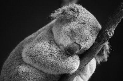 2.Protégeons les Koalas !