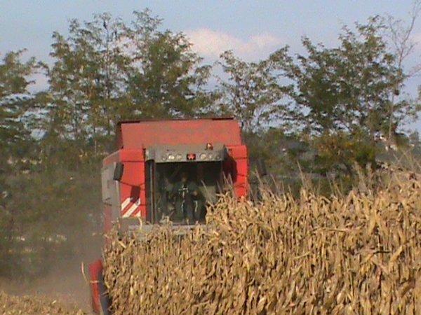 récolte de maïs au lycée